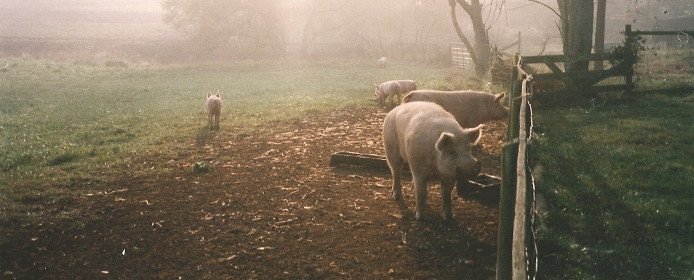Pigs in the mist at Meadow Green Farm in Sperryville, Virginia